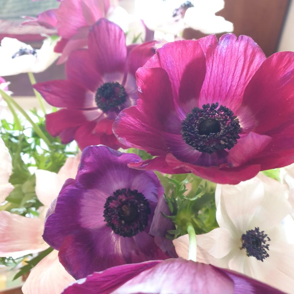 Anemonies still looking good by eleanor