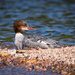 Common Merganser by mgmurray
