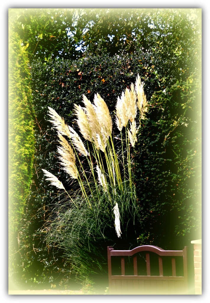 Pampas Grass by beryl