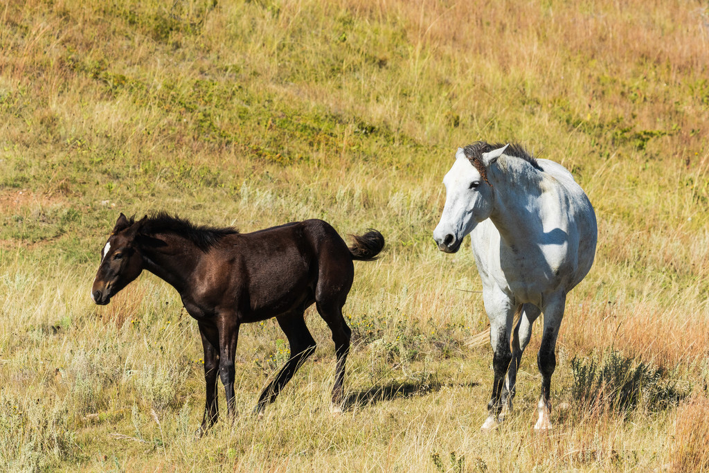 Wild Horses at Theodore Roosevelt NP by photograndma