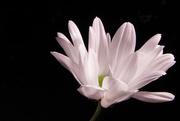25th Sep 2020 - Singular Flower