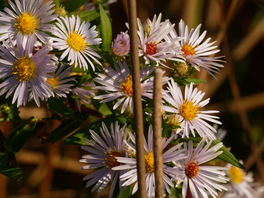 willowleaf asters  by rminer