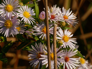 25th Sep 2020 - willowleaf asters