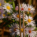 willowleaf asters