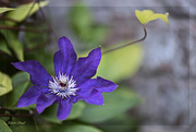 23rd Sep 2020 - Late Clematis