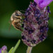 Classic Bee on Lavender Shot