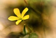16th Sep 2020 - Macro Challenge - Weeds - Oxalis