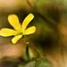 Macro Challenge - Weeds - Oxalis
