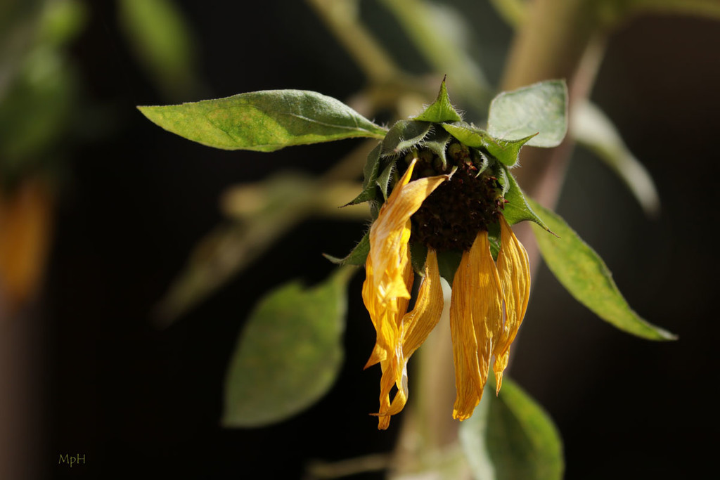 Sunflower leftover by cherrymartina