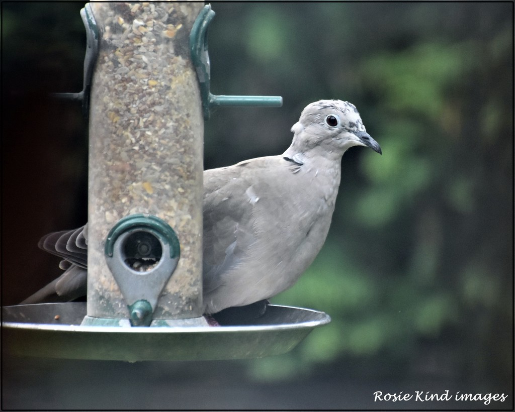 A rather scruffy collared dove by rosiekind