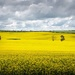Canola time by pusspup