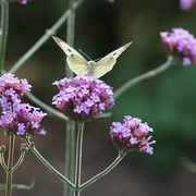 26th Sep 2020 - return to the garden: cabbage white on verbena
