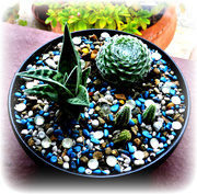 26th Sep 2020 - Cacti Bowl