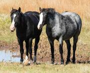26th Sep 2020 - Wild Horse Pair