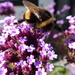 A busy bee on the Verbena