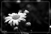 24th Sep 2020 - Shasta Daisy