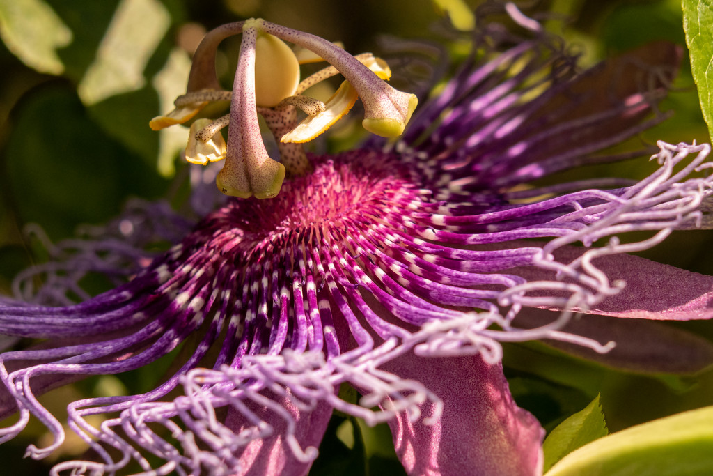 Passion Flower Up Close! by rickster549