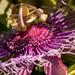 Passion Flower Up Close!