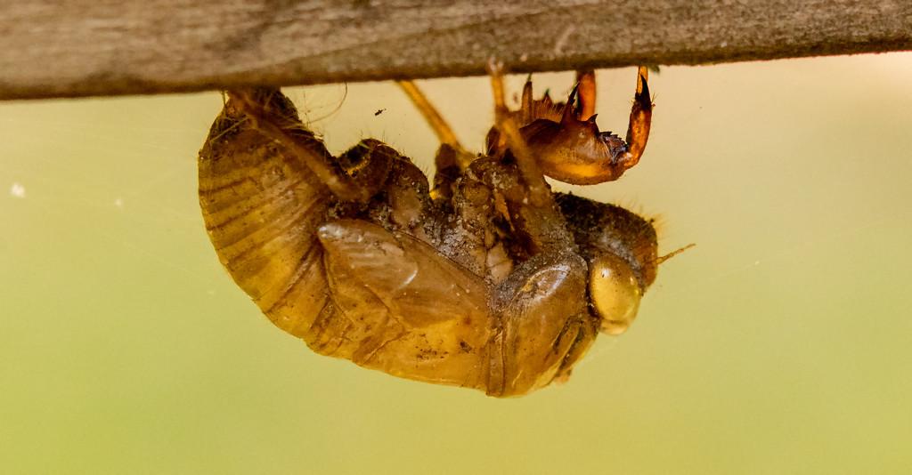 Cicada Skeleton Just Hanging Around! by rickster549