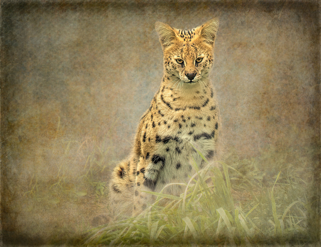 Baggins the Serval  by ludwigsdiana