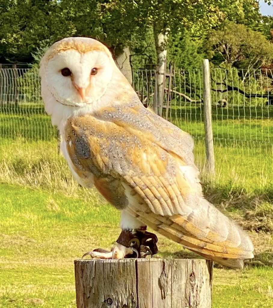 Barn owl by 365projectdrewpdavies