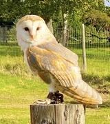 27th Sep 2020 - Barn owl