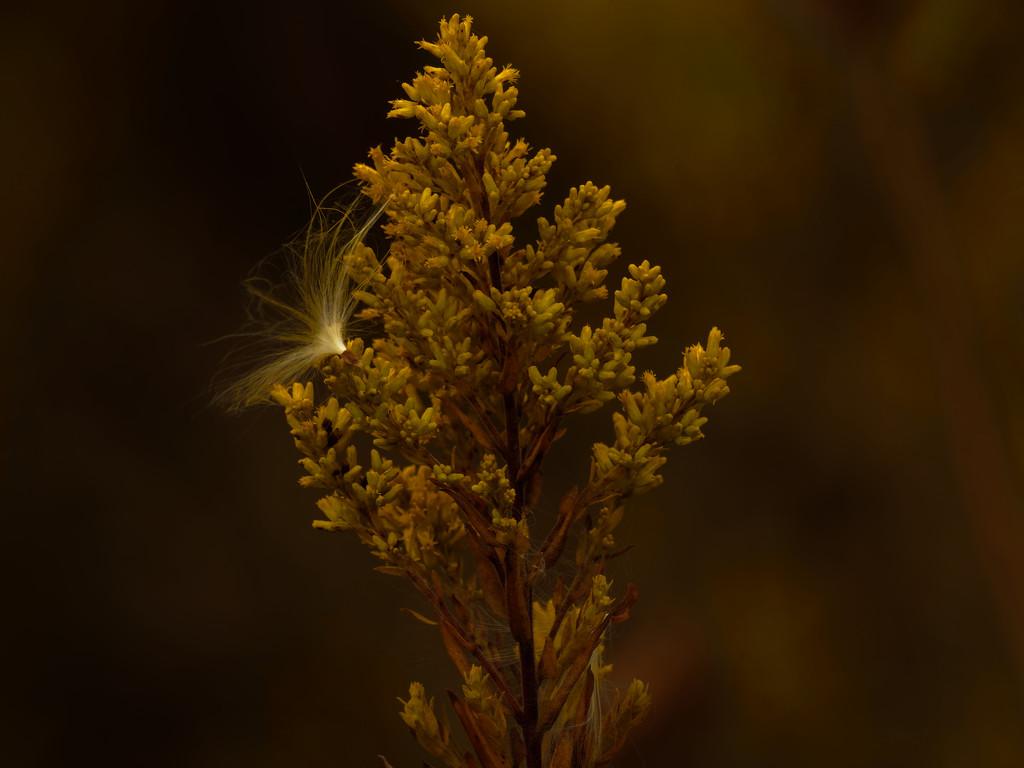 Milkweed seed on goldenrod by rminer