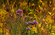 26th Sep 2020 - asters