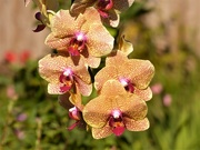 27th Sep 2020 -  Orchid