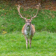 27th Sep 2020 - My what a fine set of antlers you have!