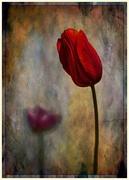 27th Sep 2020 - 0927 - Tulip