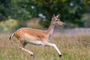 27th Sep 2020 - Doe a Deer..