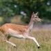 Doe a Deer..
