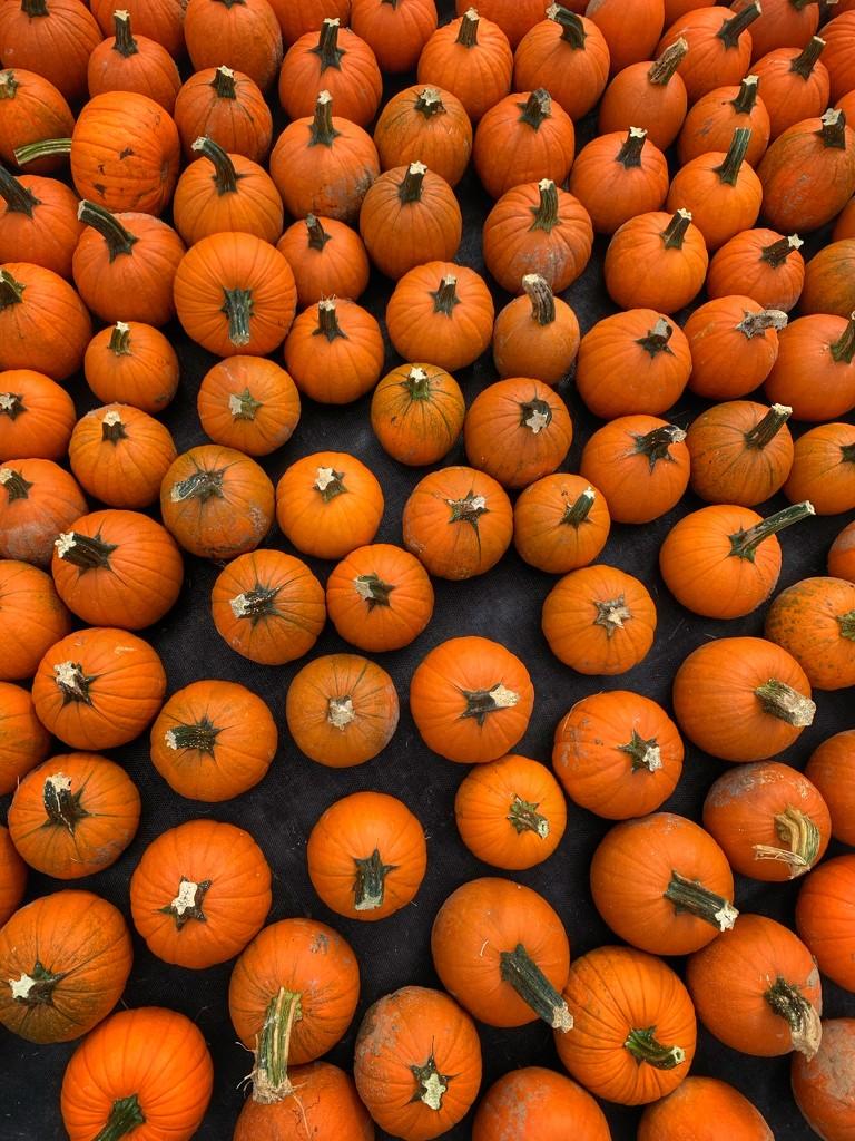 Pumpkins pumpkins pumpkins! by missdeb