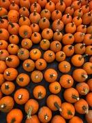 27th Sep 2020 - Pumpkins pumpkins pumpkins!