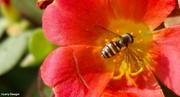 27th Sep 2020 - Sweat bee  (Halictidae)
