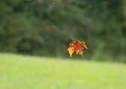 27th Sep 2020 - Leaf in Spider Web Closeup