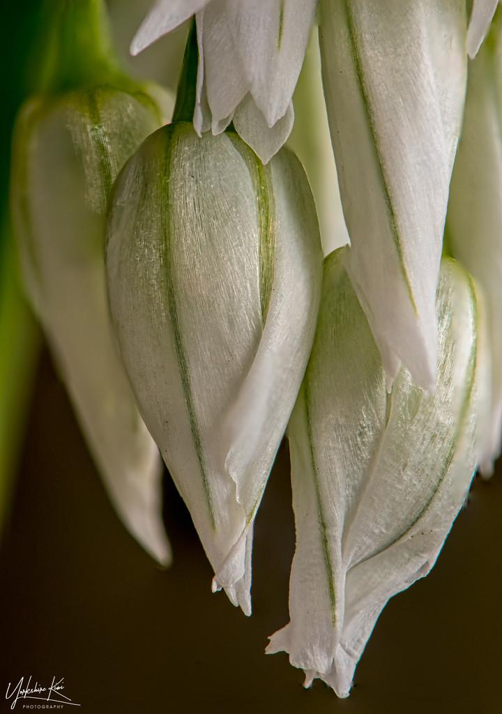 Onion Weed by yorkshirekiwi