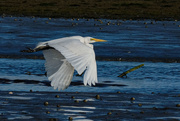 28th Sep 2020 - White heron flying downstream