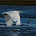 White heron flying downstream by maureenpp