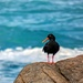 Oyster catcher keeping it's distance