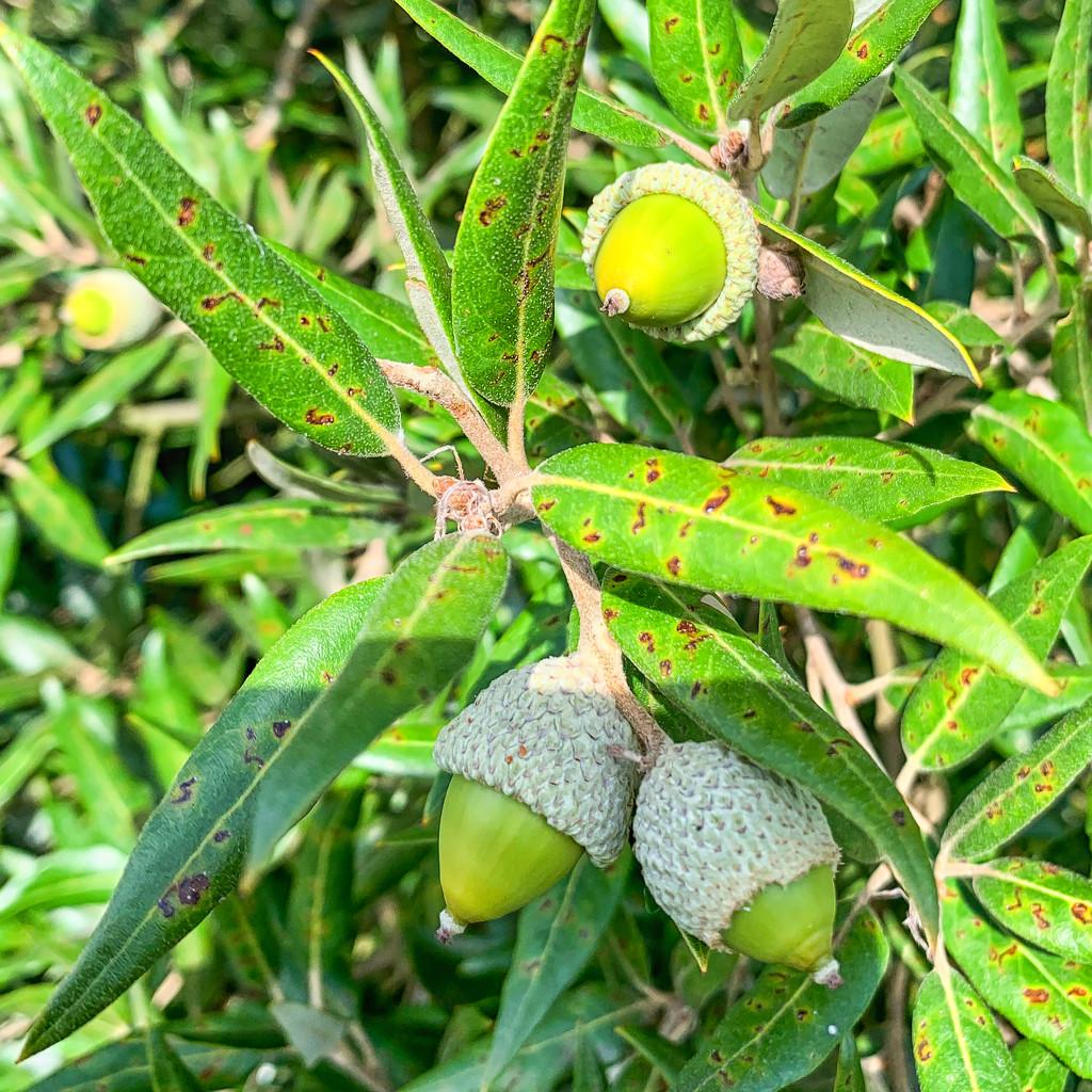 Willow Oak by pamknowler