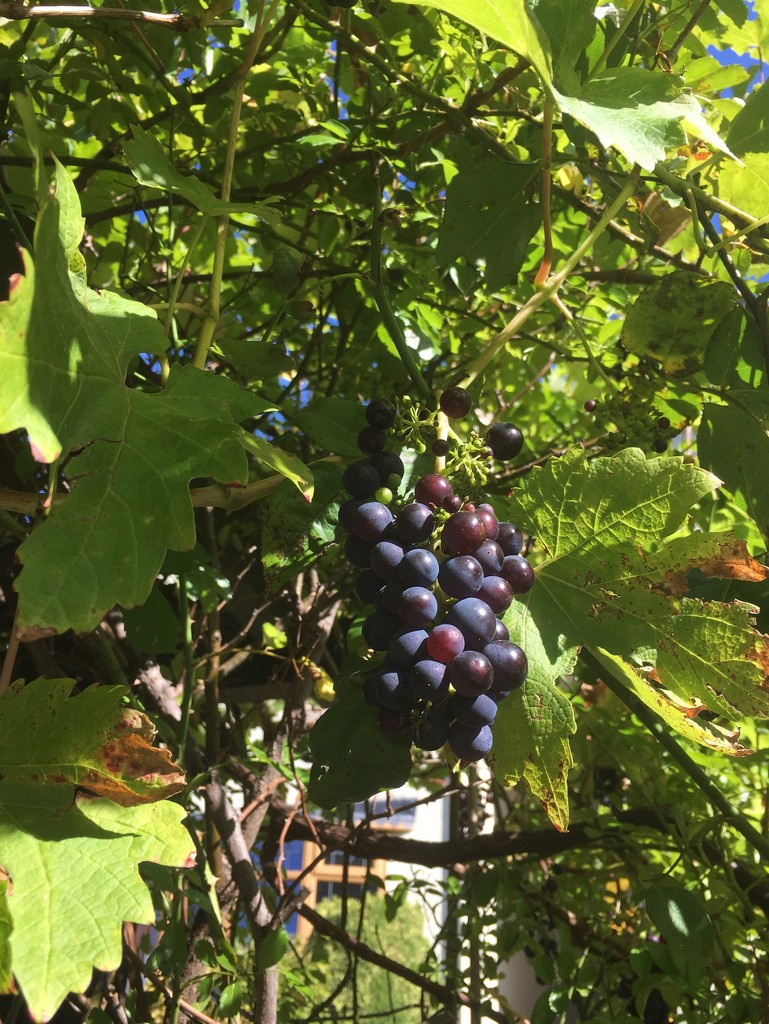 Suburban grapes by pattyblue