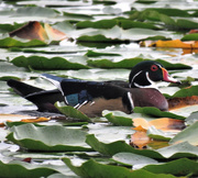 28th Sep 2020 - Wood Duck