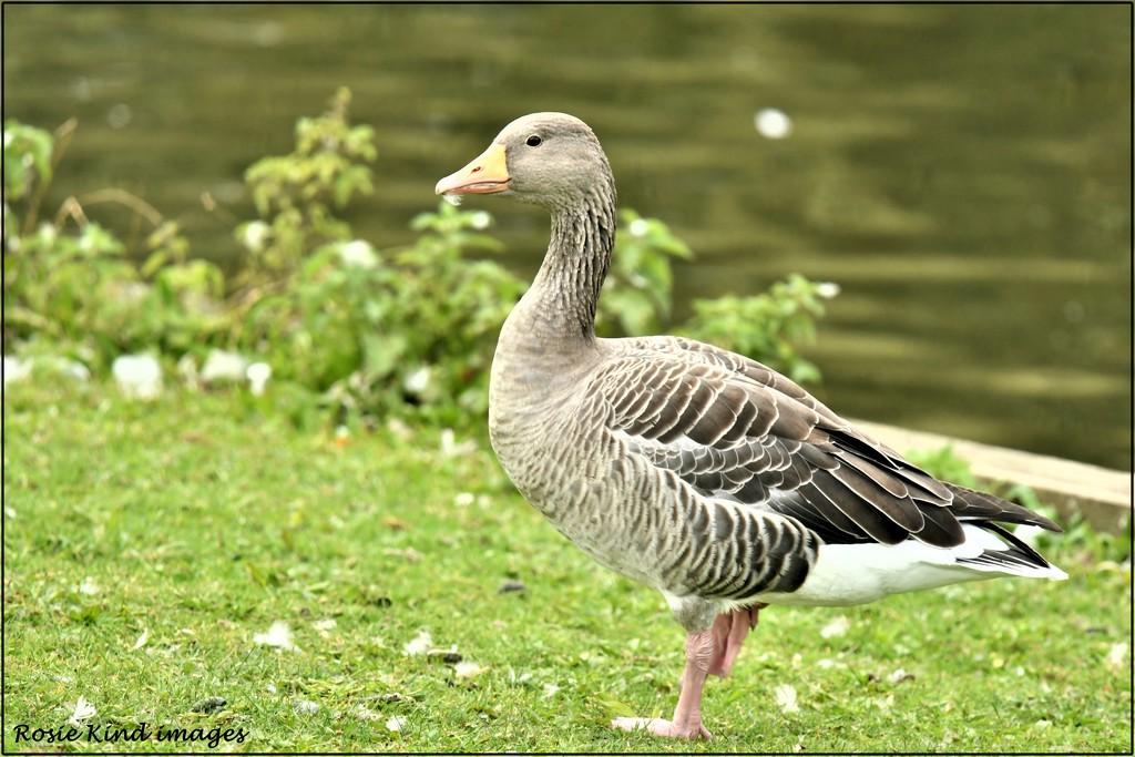 Greylag goose by rosiekind