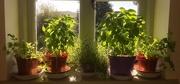 26th Sep 2020 -  My Herbs