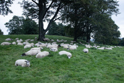 28th Sep 2020 - Counting Sheep - But they are already asleep.