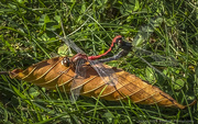 26th Sep 2020 - Mating Dragonflies Entertain Golfers
