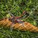 Mating Dragonflies Entertain Golfers