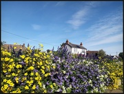 28th Sep 2020 - Beautiful flowers in the village this year